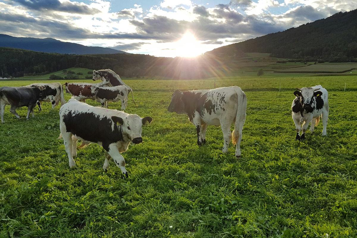 Kühe auf der Weide am Christlrumerhof