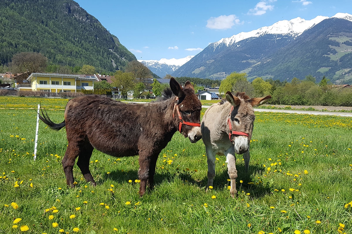 Donkey at the Christlrumerhof near the Plan de Corones in the Pustertal valley