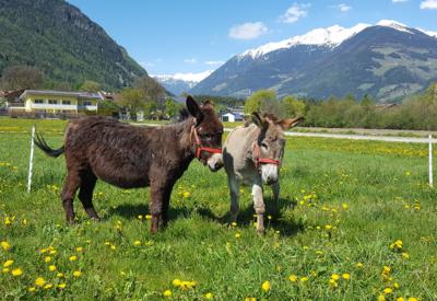Christlrumerhof Tiere Esel