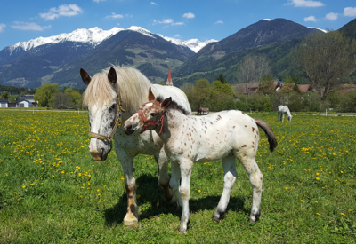 Christlrumerhof Tiere Pferde